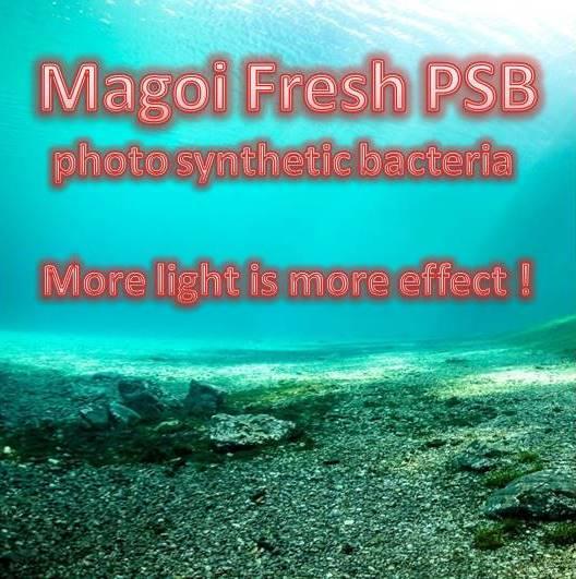 Magoi PSB Bacterien
