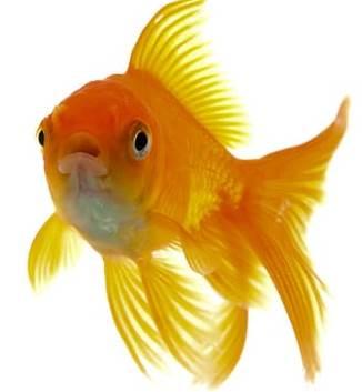 goudvisvoer / vijvervissenvoer